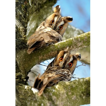 Two owls on branches
