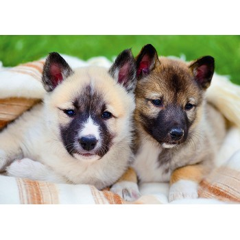 Puppies of Siberian Laika
