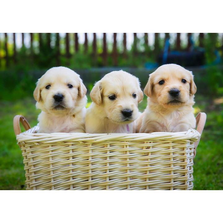 Golden retriever. 3 puppies
