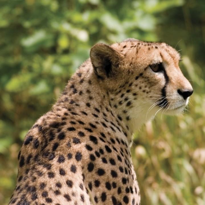 Cheetah (square postcard)